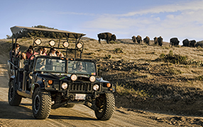 Jeep tour experiencing a heard of bison on the Interior tour