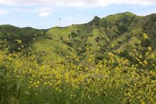 Beautiful field of flower in full bloom on Catalina Island