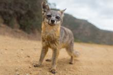 Catalina Island Fox native to Catalina Island. Can be found nowhere else in the world.